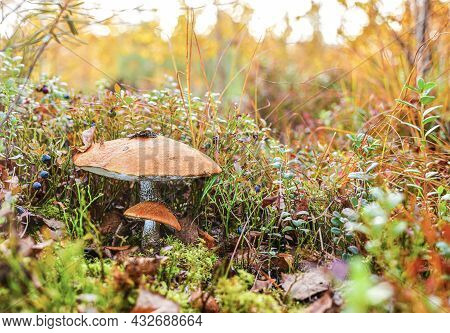 Two Mushrooms, Large And Small With Red Hats In The Middle Of A Berry Glade.