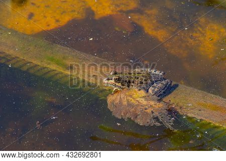 One Gray Frog Sits In The Water