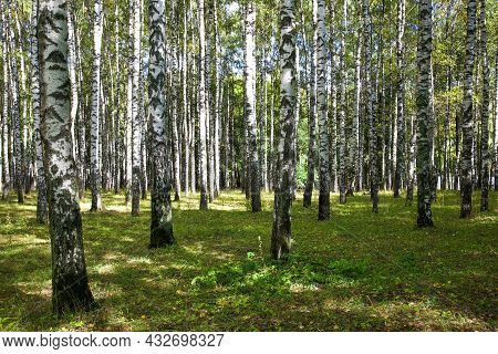Trunks Of Birches In The Park In Early Autumn In The Sun With Beautiful Shadows