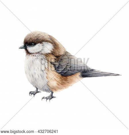 Little Titmouse Bird Watercolor Illustration. Hand Drawn Realistic Europe Song Bird. Small Chickadee