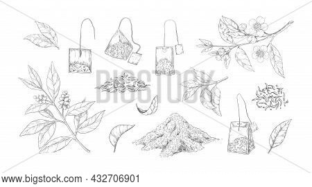 Dried Tea Sketch. Engraved Fresh And Dry Leaves For Black And Green Morning Drink. Hand Drawn Natura