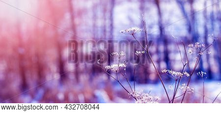 Frost-covered Stalks Of Dried Plants In The Meadow In Winter During Sunset On A Blurred Background,