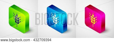 Isometric Cereals Set With Rice, Wheat, Corn, Oats, Rye, Barley Icon Isolated On Grey Background. Ea