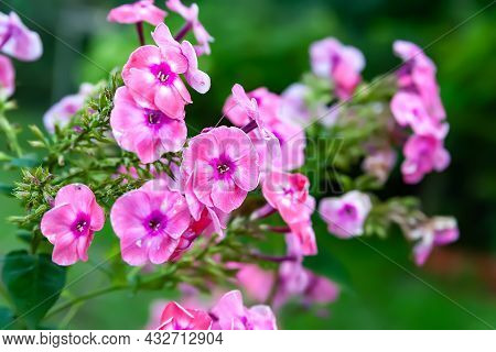 Phlox Flowers. Beautiful Large Flowers Of Pink Phlox In The Blurry Vegetation Background With Bokeh