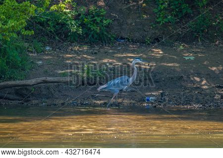 Great Blue Heron Walking Through The Muddy Water By The Shoreline With Discarded Garbage At The Rive