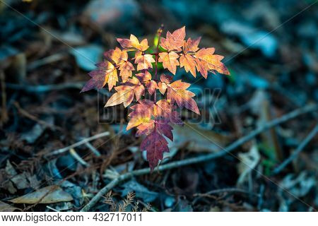Sunlight Sets On The First Year Of Growth Of Forest Sapling