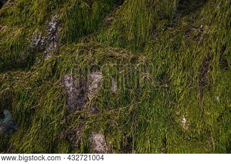 Nature Texture Of Green Moss On The Tree
