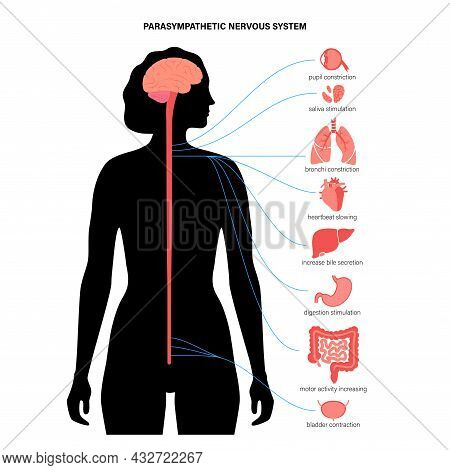 Parasympathetic Nervous System In The Human Body. Diagram Of Brain And Nerves Connections In Female