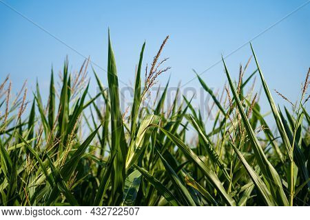 Agro Industrial Complex, Agricultural Production Corn Crops Growing In France Bretagne Region. Agric