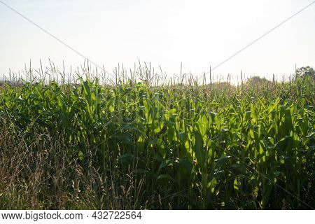 Agribusiness And Agriculture, Farmland In France Brittany Region. Green Corn Crop Field In Northern