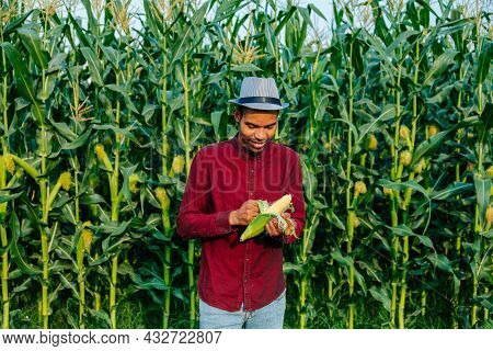Agronomist Are Cleaning An Corn Cobs Yellow Of A Corn Field On The Background . Farmer Peeling Corn