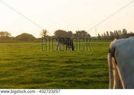 Brittany Black And White Cows Grazing On A Green Grass Field In The Bretagne Region, France. Summer