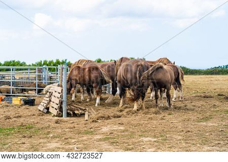 Horse Grazing And Family Farming In France Brittany Region. Animal Farm, Horse Breeding And Animal H
