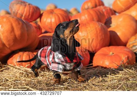 Playful Active Dachshund Puppy In Checkered Shirt Stands By Pile Of Pumpkins And Shows Its Tongue, I