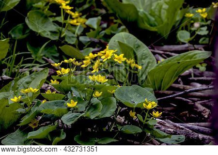 The Marsh Marigold.\\nplant Of The Buttercup Family Which Has Large Yellow Flowers And Grows In Damp