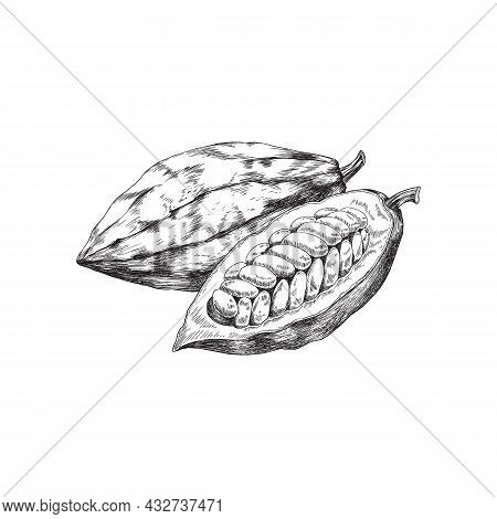 Cocoa Or Cacao Fruits Open And Whole, Engraving Vector Illustration Isolated.