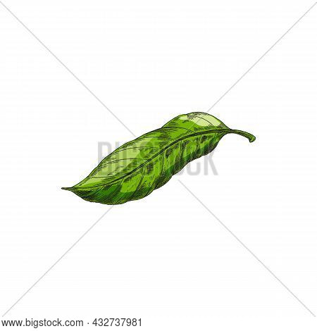 Hand Drawn Green Cocoa Or Cacao Tree Leaf, Sketch Vector Illustration Isolated.