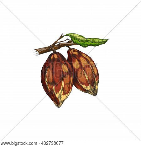 Branch Of Chocolate Cacao Plant With Cocoa Beans And Leaves A Vector Illustration