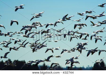 Flight Of The Siberian Snow Geese