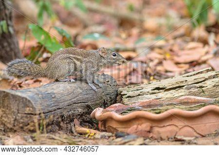 Beautiful Of Menetes Berdmorei (indochinese Ground Squirrel, Berdmore's Ground Squirrel , Burmese St
