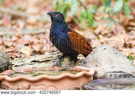 Beautiful Bird Greater Coucal Or Crow Pheasant (centropus Sinensis) Drink Water On Branch In Doiinth