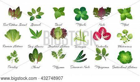 Leaves Herbs Culinary. Aromatic Garden Food Plants, Rosemary Basil Oregano Mint Dill Coriander Farm