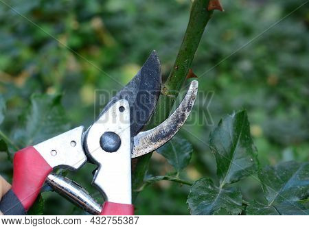 Rose Care. How To Prune, Cut The Roses Properly. A Close-up Of Cutting A Rose Stem With Sharp Prunin