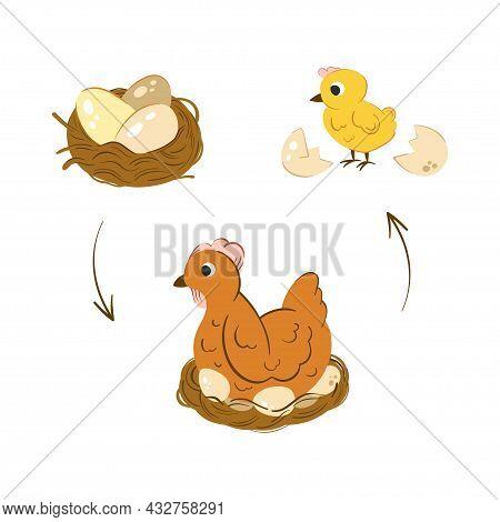 Chicken Hatch Stage Vector Illustration. Neat With Chicken Eggs. Newborn Yellow Cute Chicken