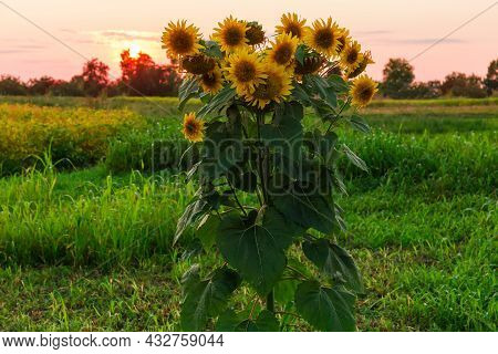 Top Of The Single Flowering Sunflower Plant On The Field Against The Evening Sky At Sunset In Back S