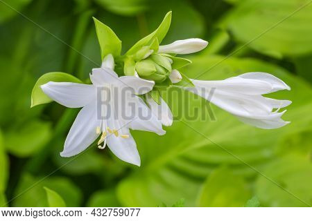 White Flowers And Flower Buds Of The Hosta Plant On A Blurred Background Of Leaves, Close-up In Sele
