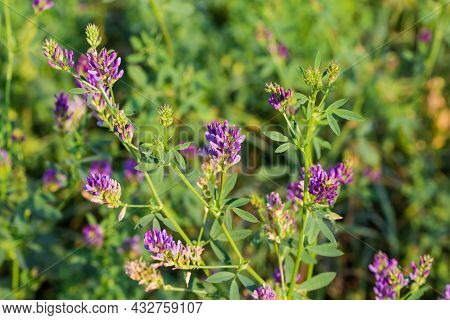 Stems Of Alfalfa With Flowers And Flower Buds On Tops Growing On The Field, Close-up On A Blurred Ba