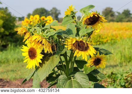 Stem Of The Single Sunflower With Several Flowers On The Field In Summer Morning