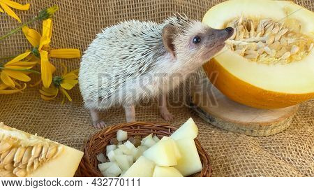 Little Hedgehog Sniffing Yellow Melon On Burlap Background