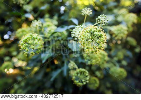 Shallow focus English or Irish Ivy flower on a mature Ivy plant