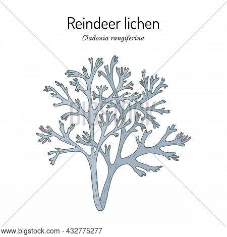 Grey Reindeer Lichen Or Deer Moss Cladonia Rangiferina , A Species Of Lichen In The Family Cladoniac