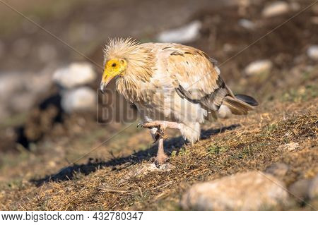 Egyptian Vulture (neophron Percnopterus) Scavenging On Carcass In Spanish Pyrenees, Catalonia, Spain