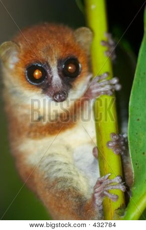 Wild Mouse Lemur, Madagascar