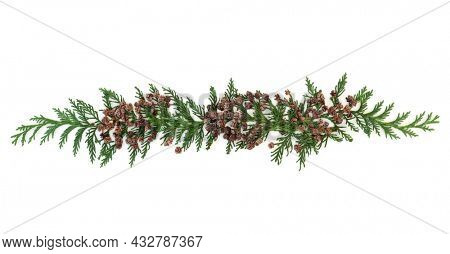 Decorative cedar cypress American arborvitae fir leaves with pine cones isolated on white background. Used in herbal plant medicine to treat coughs, colds, bronchitis. Design element, Flat lay.