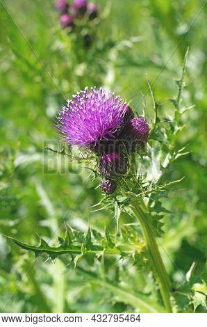 Flowering Thistle (burdock) - Beautiful Flowering, Blooming Wild Flower In Meadow Lit By Sunlight. F