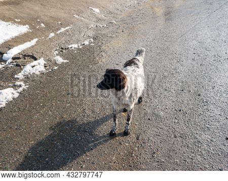 Two-tone Dog Is Standing On The Road. Close-up.