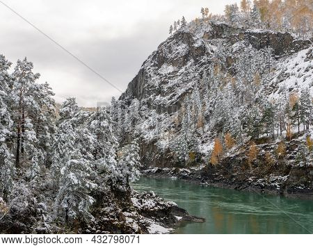 The Turquoise Katun River Against The Background Of The Snow-capped Altai Mountains. Coniferous Tree