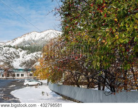 Russian Village Chemal In The Snow. Apple Trees With Red Apples Grow Near The Road Against The Backd