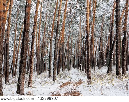 Forest In The Snow. Winter Picture. Walking Path Going Deep Into The Coniferous Forest. Chemal Villa