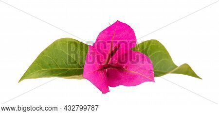 Bougainvillea  Flowers Isolated On A White Background