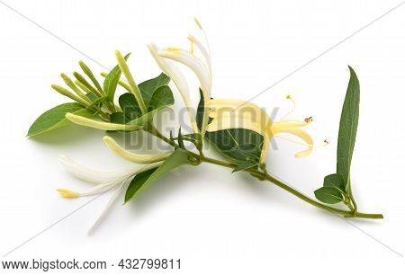 Honeysuckle Twig  With  Flowers And Green Leaves Isolated On White Background