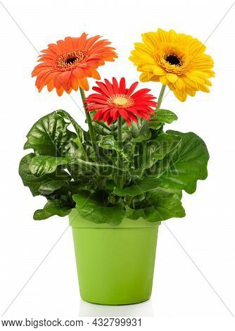 Gerbera Plant In Vase  Isolated On White Background
