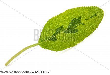 Fresh  Sage Leaf Isolated On White Background