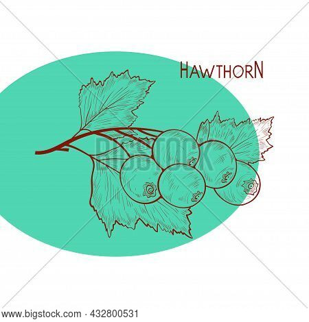 Hawthorn. Plant. Branch, Berry, Leaves. Sketch. Sketch On A White Background.