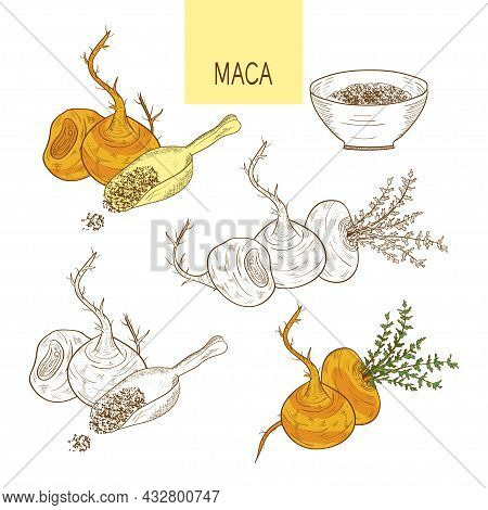 Maca. Tuber. Powder Sketch Color And Monochrome Drawing