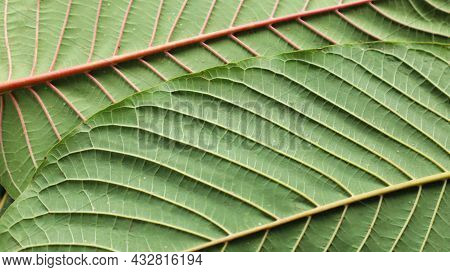The Structure Of The Kratom Leaves. Mitragyna Speciosa, The Red And White Structure On The Back Of T
